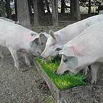 Pigs eating sprouted fodder