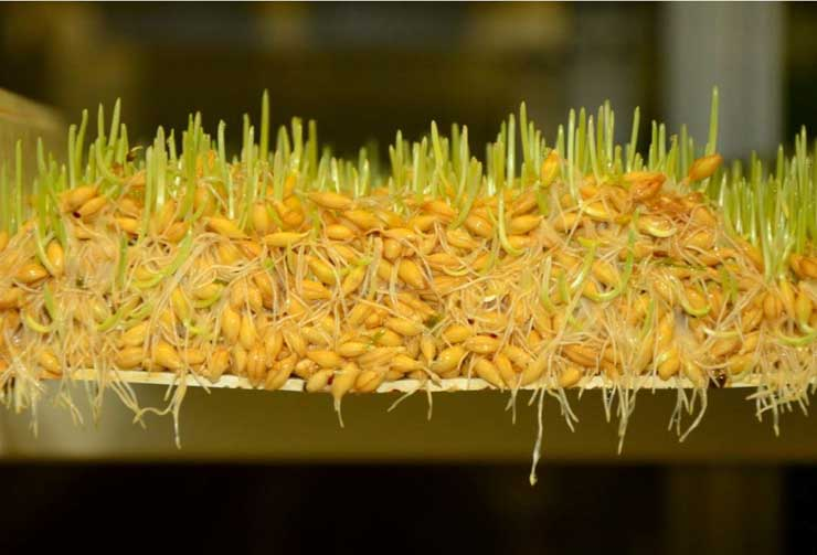 hydroponic barley sprouts