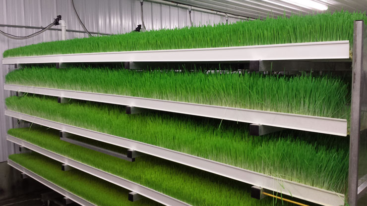 hydroponic sprouts growing in fodder system