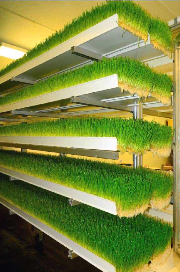 Sprouted barley fodder in fodder system